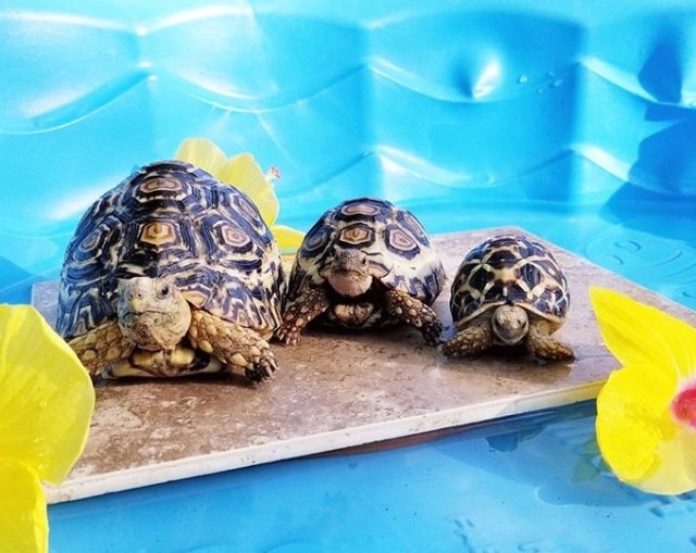 Interview with Tort Mom: mother to tortoise family of five
